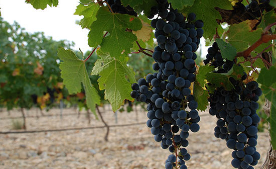 Bunch Grape Harvest