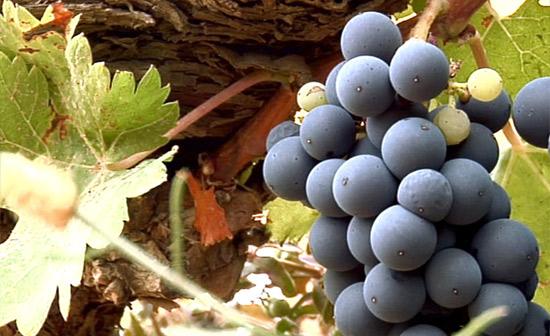 Bodegas Ejeanas grape vineyard